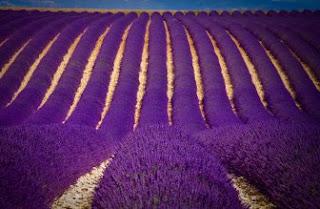 Foto Bunga Lavender Ungu yang Indah 1