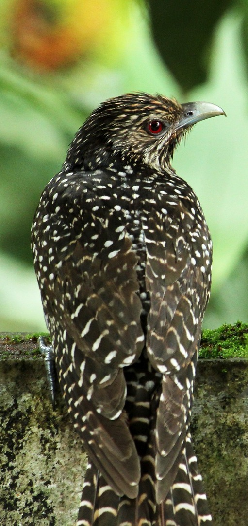 Picture of an asian koel.