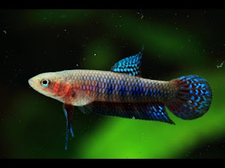 Betta Hendra Female atau Betina
