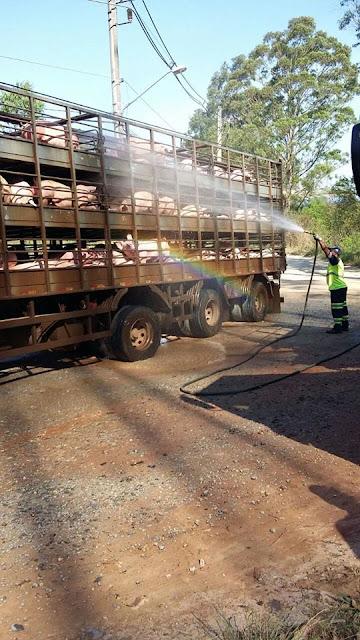 PRF FLAGRA 250 PORCOS SENDO TRANSPORTADOS EM CONDIÇÕES DEGRADANTES NA REGIS BITTENCOURT