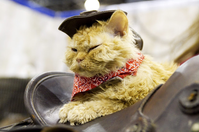Aww cowboy cat by roboppy from flickr (CC-NC-ND)