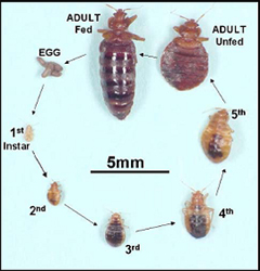 bed bug life cycle illustrated picture