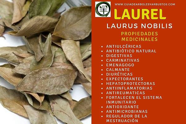 El Laurel tiene Propiedades Medicinales Digestivas, Antiulcéricas, Diuréticas