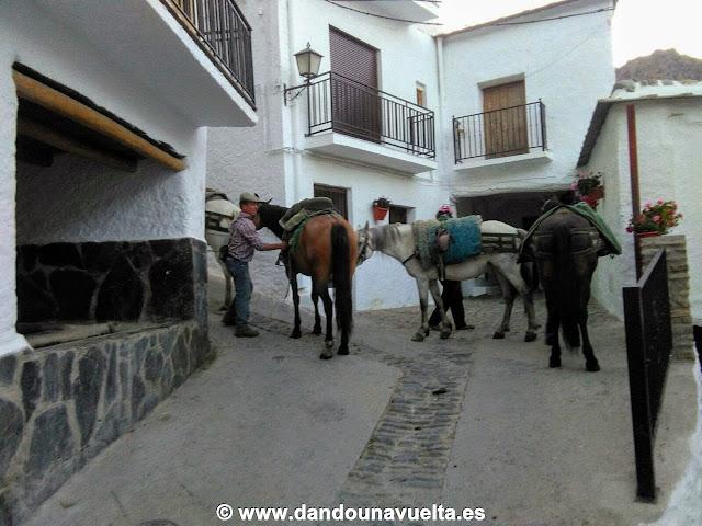 Mulos, caballos en tareas de agricultura en Trevélez