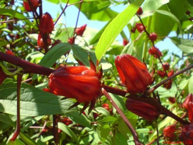 Manisan Bunga Rosella