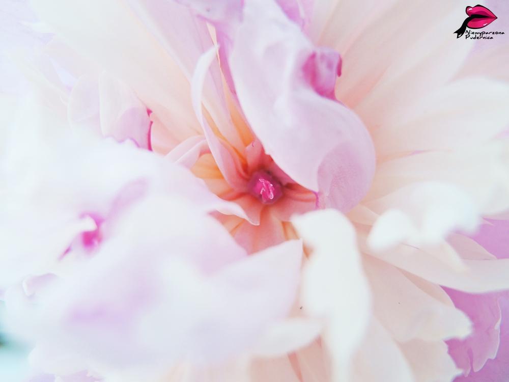 piwonia, peonia, kwiatek, flower, peony