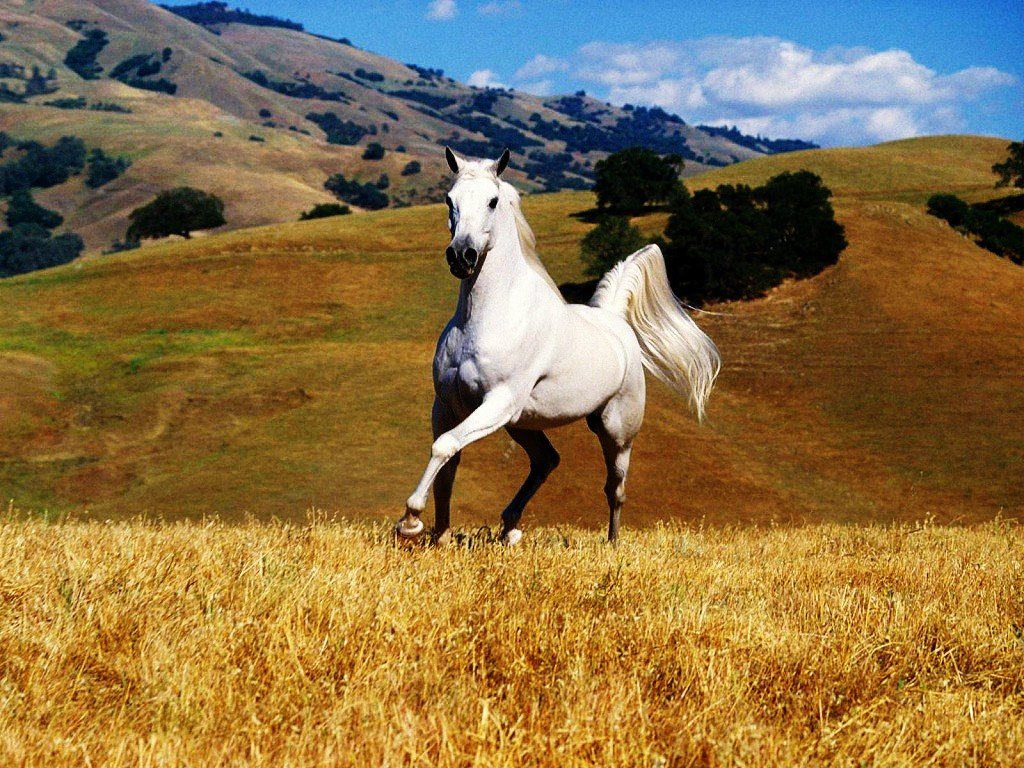 Horse HD Wallpapers, Horses HD Wallpapers