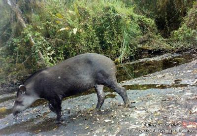 tapires en Argentina Tapir Tapirus terrestris