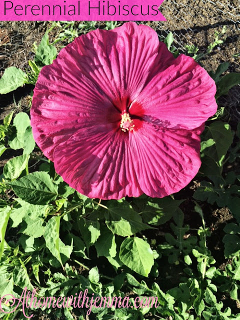 purple hibiscus, grow your own, gardening, tips on growing hibiscus