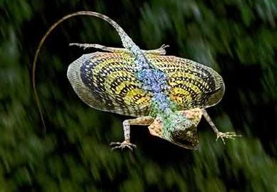 cicak terbang atau cekibar ialah sejenis reptil yang termasuk ke dalam suku  Ciri Khusus Cicak Terbang/Cleret Gombel dan Fungsinya