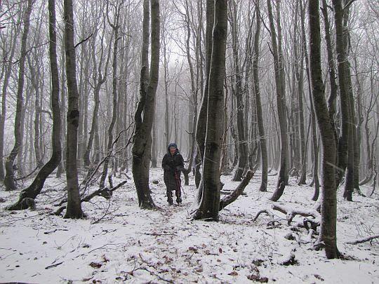 Przedziwny bukowy las.