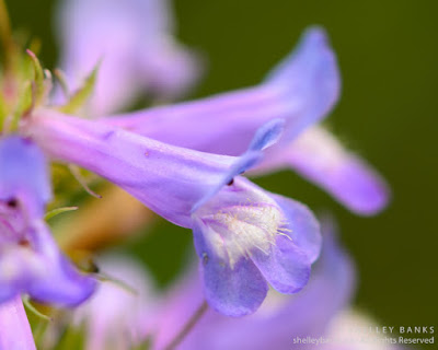 Slender Beardtongue. Copyright © Shelley Banks, all rights reserved
