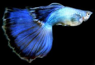 Cara tepat memelihara ikan guppy di akuarium buat pemula