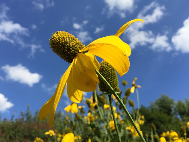 Yellow Coneflower in full bloom