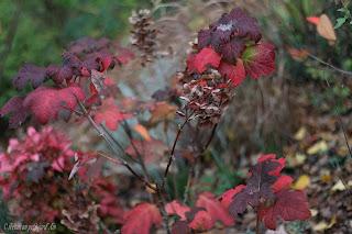 hydrangéa quercifolia feuillage coloré