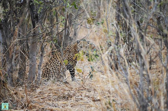 Leopardo en Dizhana, Botswana