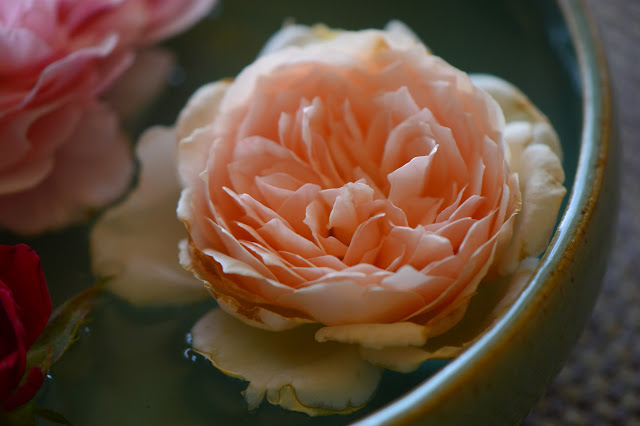"rose ""Crown Princess Margareta"", Monday vase meme, small sunny garden, amy myers ceramics, roses, david austin rose"