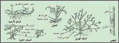 7 - بحث حول و مذكرات التكاثر عند النبات