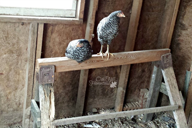 One of the most important items in your chicken coop is the roost. Place it higher than the nesting boxes to prevent the chickens from sleeping in and soiling their nest boxes.