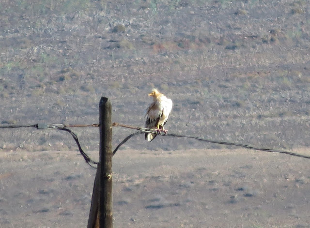 Egyptian Vulture - Reserva de El Jarde, Fuerteventura