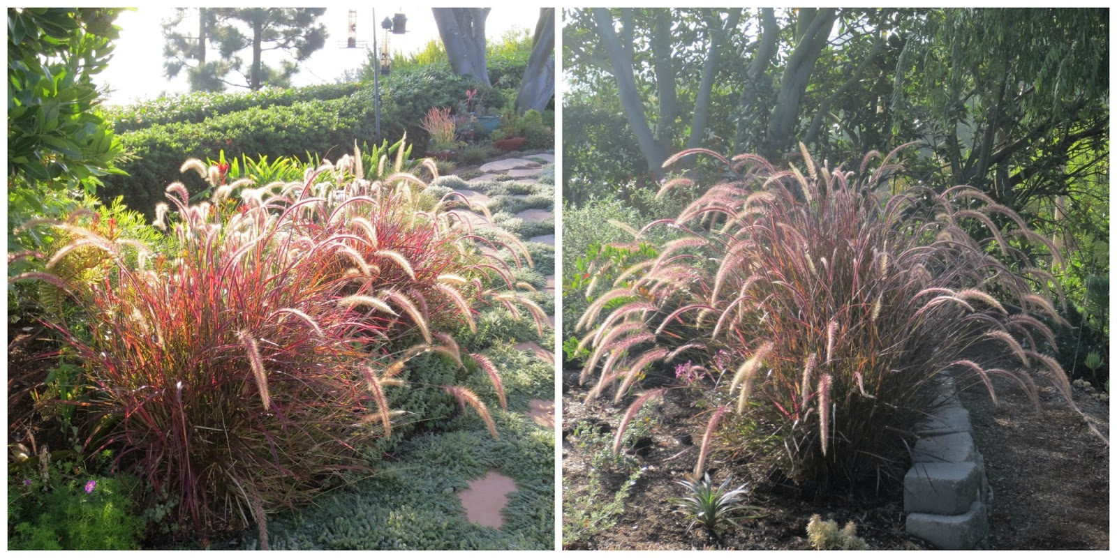 Late to the garden party bloom day september 2016 for Ornamental grasses that bloom