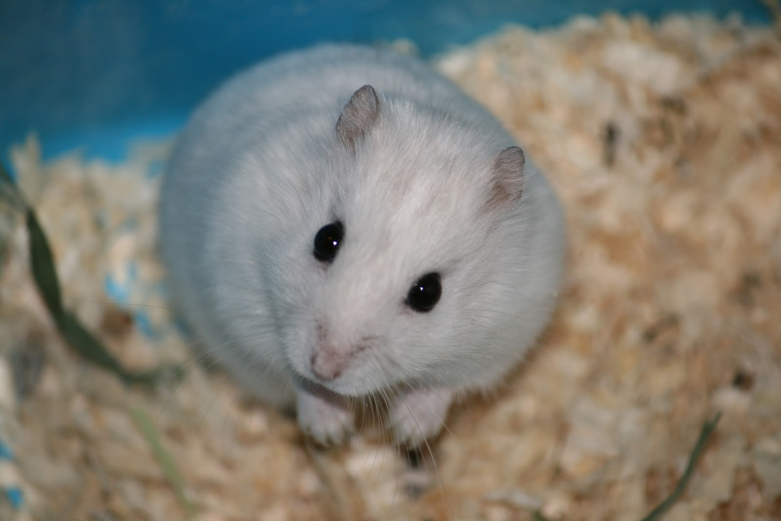 Cute Baby Hamsters Wallpaper Little White Hamster Computer Screen Saver Pc Desktop
