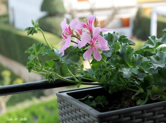Suculentas en jardineras de ventana guia de jardin for Que plantas poner en una jardinera