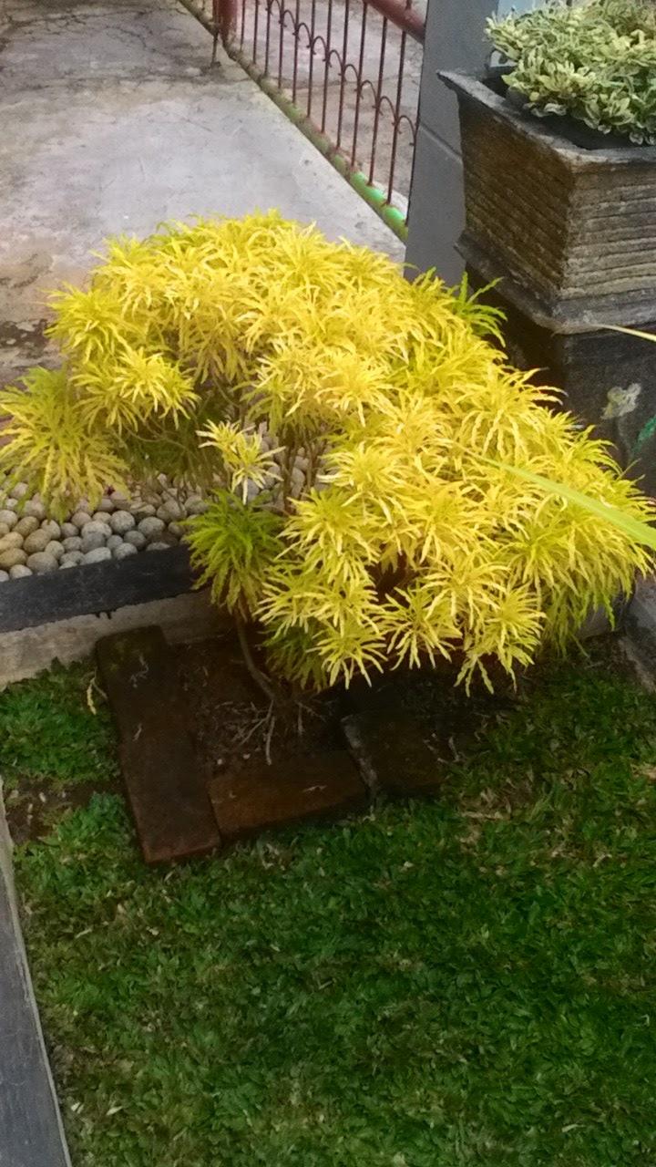 Tanaman Hias Cara Merawat Tanaman Hias Brokoli Kuning