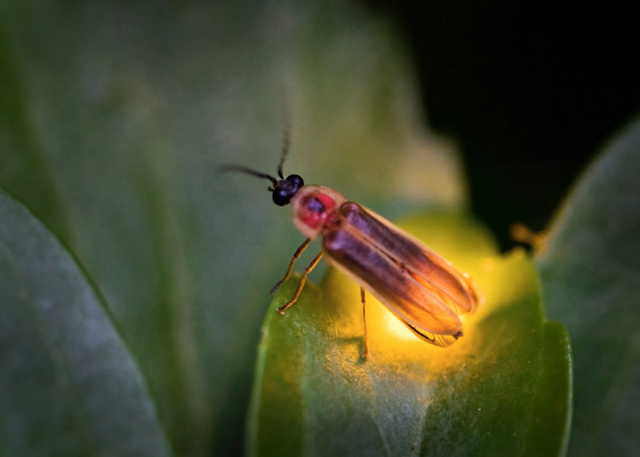 firefly lightning bug on leaf