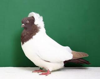 Foto Burung Merpati Nun Pigeon Daftar Harga Burung Hias Terbaru
