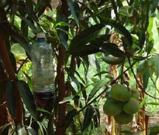 cara mengatasi lalat buah menggunakan perangkap