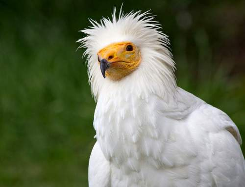 Indian birds - Image of Egyptian vulture - Neophron percnopterus