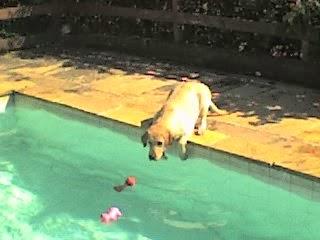 piscinas perigos dos cães