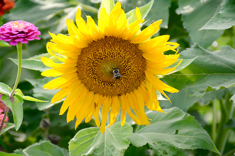 Bees; sunflowers; pollination | My Darling Days