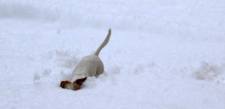 Thelma digging up a snow ball