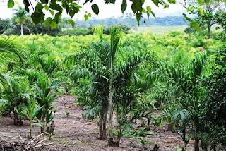 IAC transfere informações no Seminário sobre cultivo e processamento de pupunheira para palmito no Vale do Ribeira