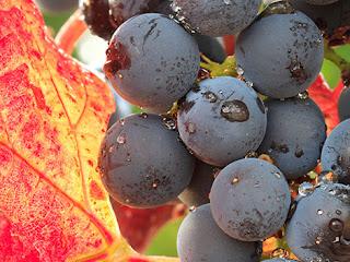 Spanish wine lover garnacha-puede-una-uva-ser-sexy