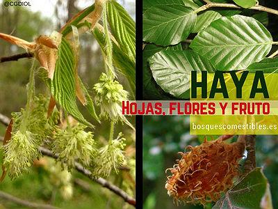 Imagen del Haya, Fagus sylvatica,  sus hojas, flores y fruto
