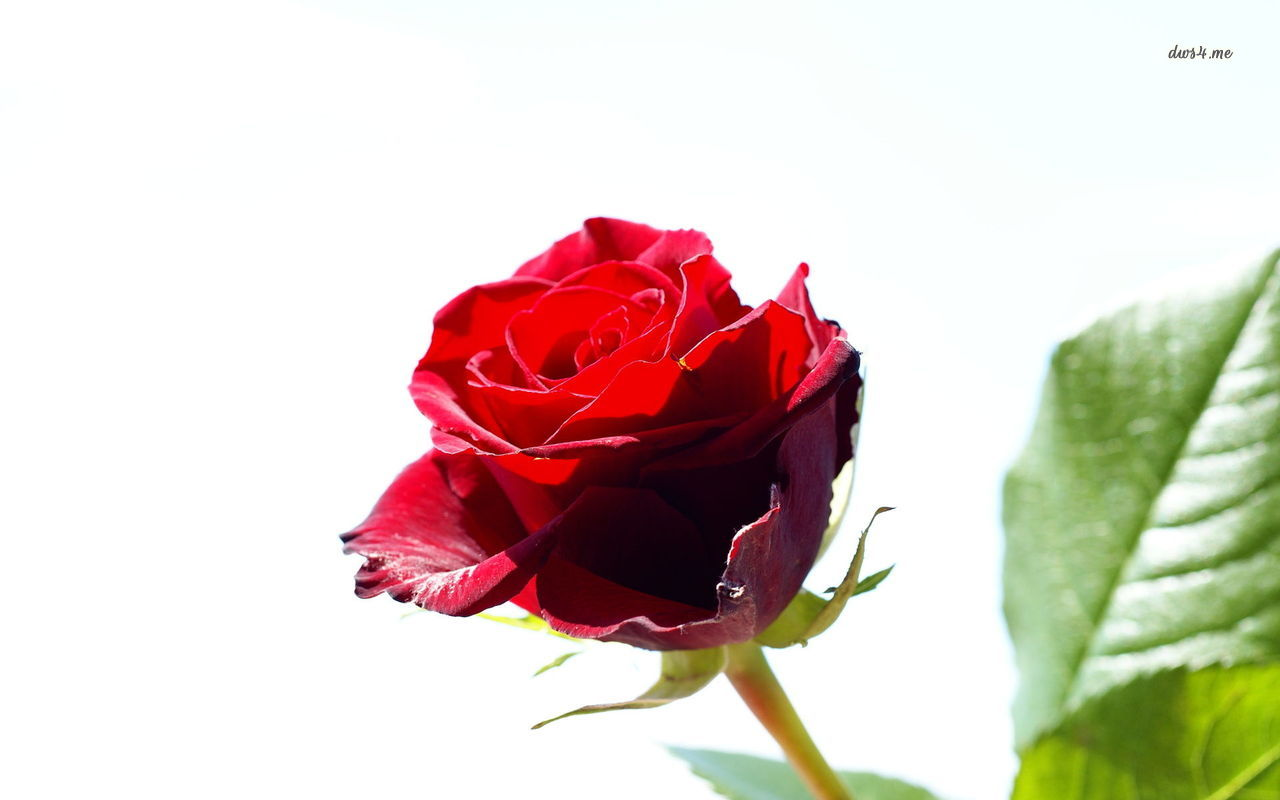 Single red rose flowers flower hd wallpapers images - Red rose flower hd images ...