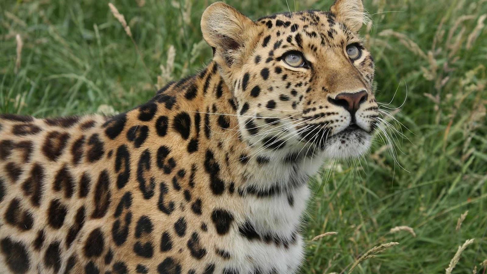 leopard hd wallpapers 1080p