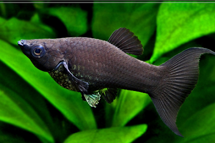 Ikan Black Molly, Si Hitam yang Begitu Mempesona