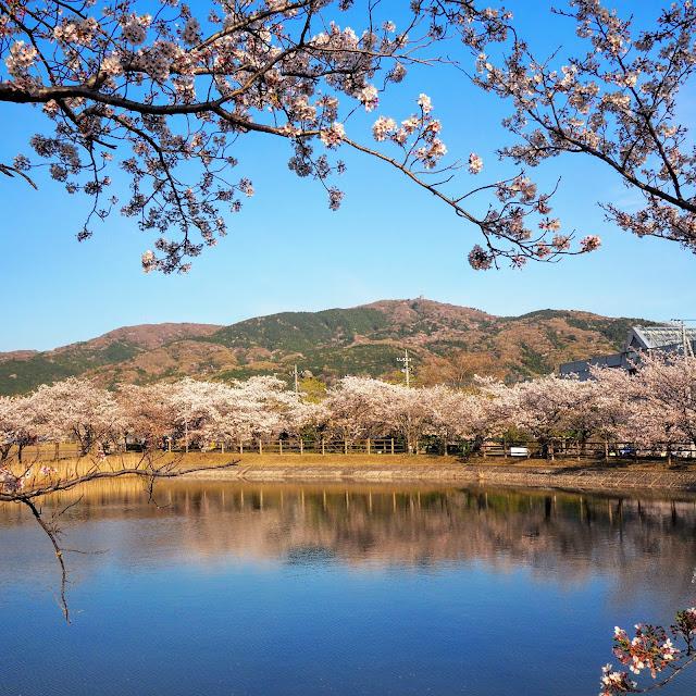 北条大池 桜の名所