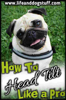 How To Head Tilt Like a Pro - Dog tips