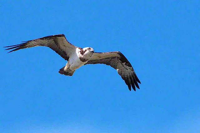 Osprey bird in flight at Kin Dam, Okinawa