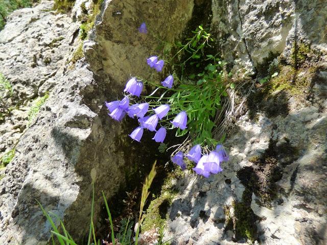 Clopotei de stanca, Campanula Cochleariifolia, flori in Valea Horoabei, Bucegi