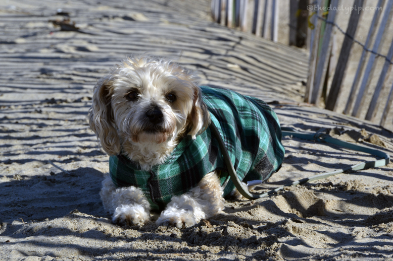 cold dog at the beach Yorkiepoo