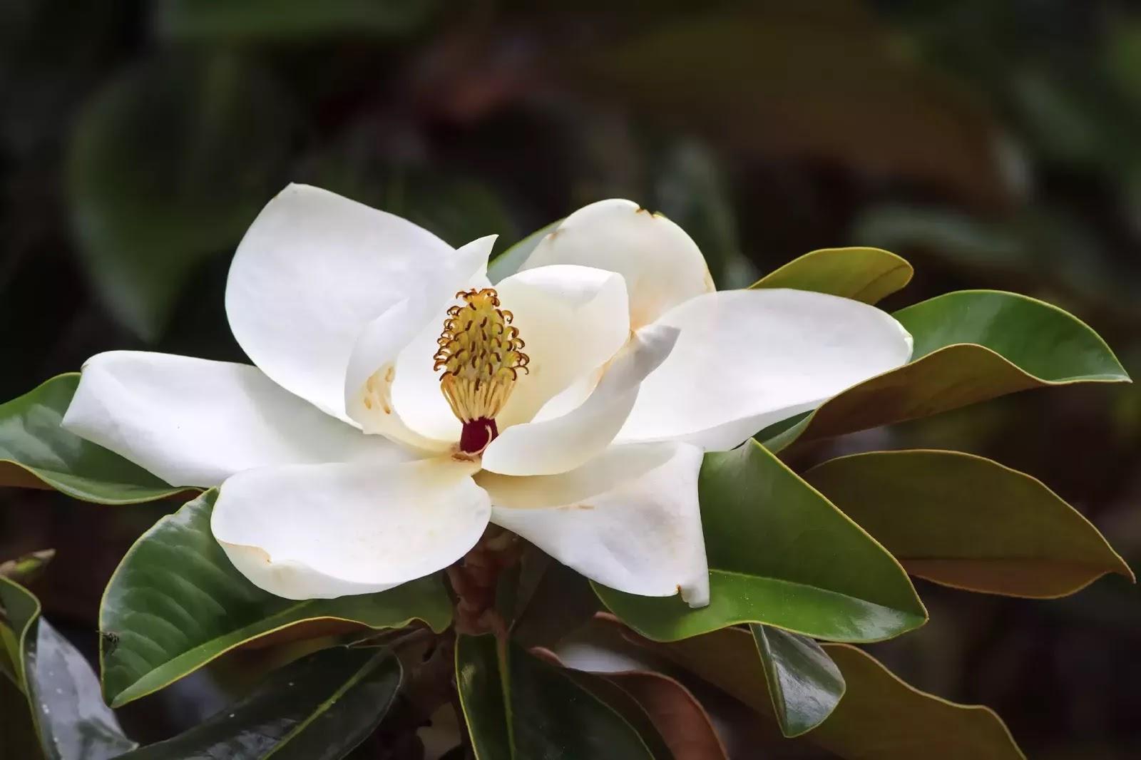 Magnolia ! Garden Bible