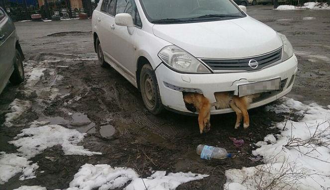 Dokter Berkendara dengan Anjing Mati Terjepit di Bemper