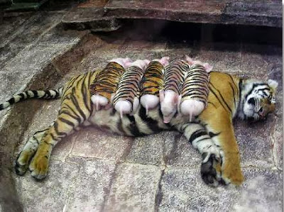 A mother tiger adopts piglets