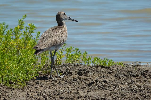 Willet, Pelican Island
